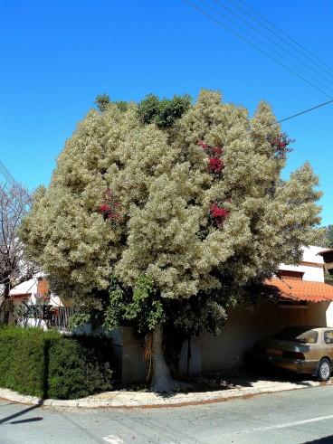 Cel mai tare copacel