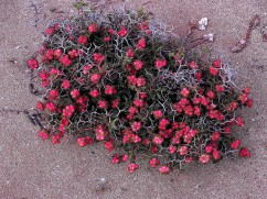 Flori in nisip