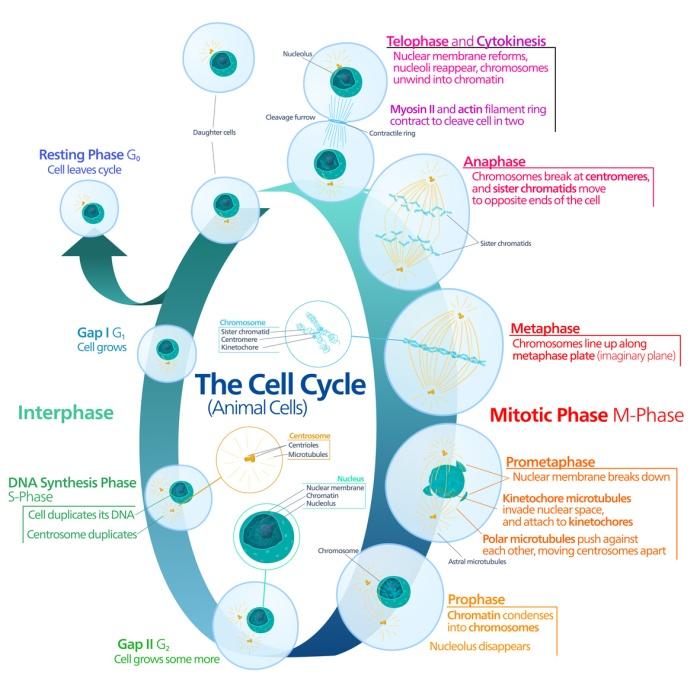 Diviziunea celulara - teorie