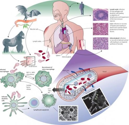 patogeneza virusul ebola
