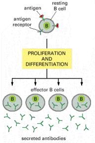 plasmocita inactiva
