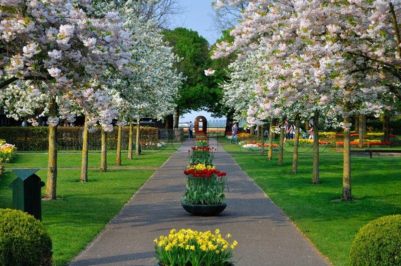 keukenhof -alley-with-white-blooming-trees-prunus-triloba-in-keukenhof-park-in-holland