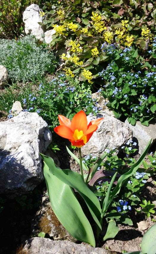Sunt mai putine lalele-n Gradina Botanica fata de gradinile din oras, dar macar cele de aici sunt mai speciale. :)