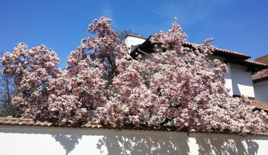 Cea mai frumoasa magnolie din Bucuresti, in opinia mea.