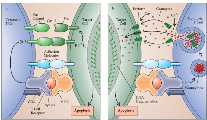 apoptoza ca urmare a actiunii celulelor T