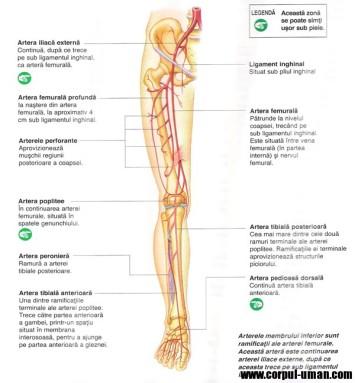 arterele-piciorului