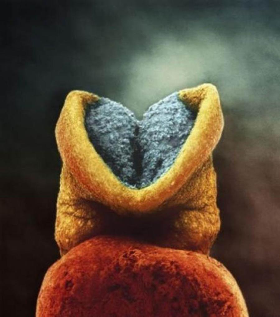 Placa neuronala la un embrion