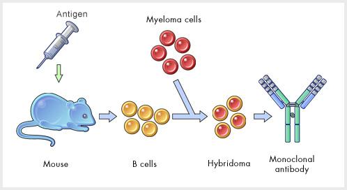 producere anticorpi monoc