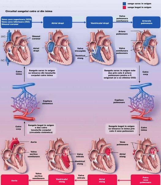 circulatia in inima